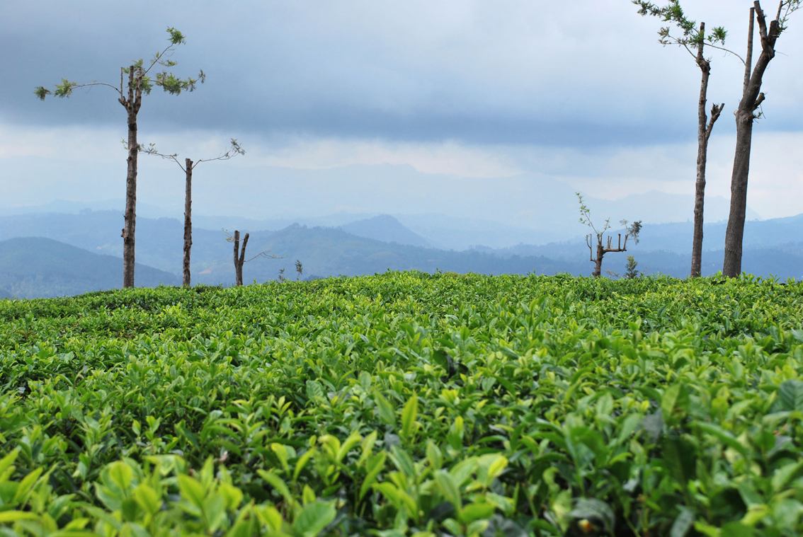 Tea Trail Trek